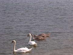 swans with nearly grown cygnets 1 (mosenior) Tags: water swans tonbridge cygnets