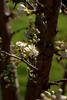 schulten plum blooms by ab '09
