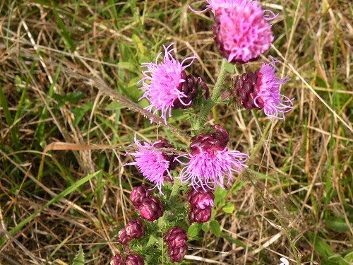 DSCN7033blazing star