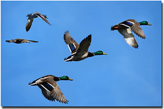 Mallard Ducks in Flight (*Cristiana*) Tags: nikon flight ducks bluesky birdsinflight greatphoto topshots birdsflying abigfave natureselegantshots mallardducksinflight
