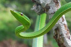 Green vine snake, Yasuni (ggallice) Tags: southamerica rain america forest ecuador amazon rainforest reptile wildlife south jungle badge latin latinoamerica herp parquenacionalyasuni taxonomy:binomial=oxybelisfulgidus photocontesttnc10 creativecommonscentral
