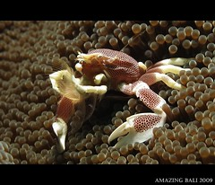 Porcelain crab filter feeding 3 (Alvin Toh) Tags: potofgold wetpixellogo