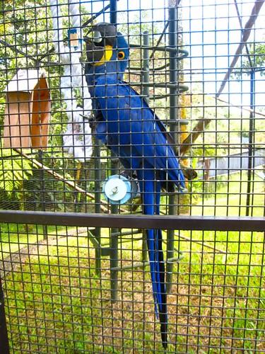 Zoey Manu, the Hyacinth Macaw