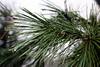 Pine needles with dew