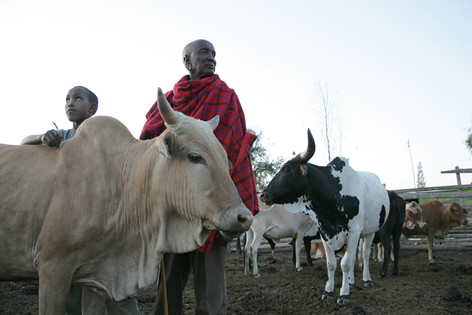 Maasai father and son tend to their cattle in their paddock in Kitengela