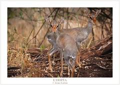 Dikdik de Guenther (Madoqua guentheri) (Jesús Gabán) Tags: africa fauna ethiopia dikdik etiopía madoquaguentheri jesúsgabán