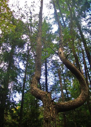 Ballt träd @ Gallhålans naturreservat