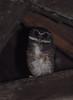 Speckled Boobook (Ninox punctulata) (Bram Demeulemeester - Birdguiding Philippines) Tags: sulawesi bramdemeulemeester speckledboobook ninoxpunctulata speckledhawkowl