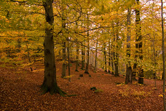 Beech forest I (Kritisk massa) Tags: autumn fall colors forest woods raw pentax sigma bok beech sigma185028 bokskog pentaxk10d