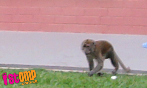 Monkeys roam freely in Pasir Ris