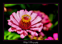 (baby7) Tags: pink flower macro green garden flickr bahe yeil pembe baby7 frmae nkon