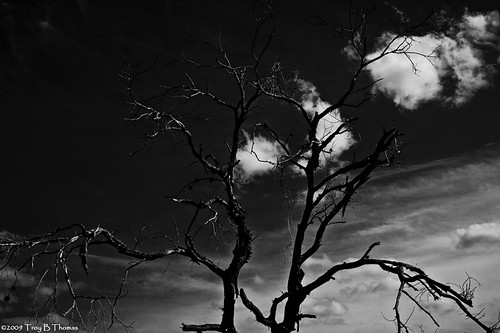 20091108_FortMyersTree02_BW