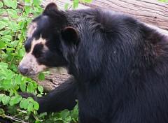 Brillenbär - tapsig (roba66) Tags: bear animal animals zoo tiere stuttgart tierpark tier bär wilhelma brillenbär botgarten wilhelma09 roba66 bawürtt zoolgarten