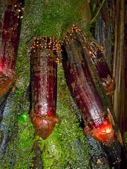 Bizarre cock-tree in rainforest