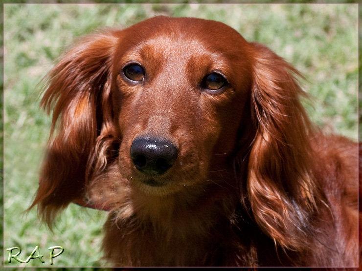 El dachshund de pelo corto es m 225 s antiguo como ya se mencion 243