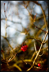 nostalgia (Jutta Bauer) Tags: november autumn cold nature berries quote nostalgia