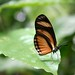 Butterfly - Corcovado National Park