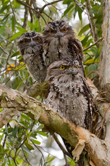 Frogmouth Family (pointr) Tags: australianbirds tawnyfrogmouths
