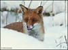Fox in the Snow (Alex Verweij) Tags: winter red wild food snow canon bravo looking forrest sneeuw ngc natur natuur lucky fox hungry wilderness bos almere searching vos reinier oostvaardersplassen wildernis 40d mywinners abigfave mygearandme mygearandmepremium 7022mmf28is denieuwewildernis