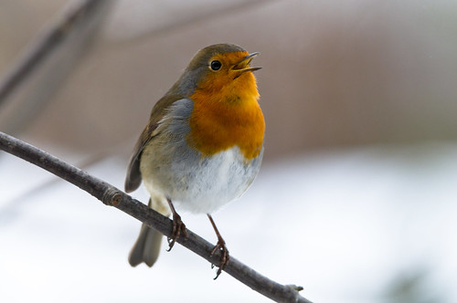 Robin (Erithacus rubecula) Singing in a Rowan Tree