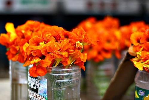 Nasturium Blossoms