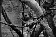 Allwetterzoo Mnster (Kurt Gritzan) Tags: bw monochrome deutschland zoo blackwhite nrw sw monochrom gelsenkirchen mnster allwetterzoomnster zootiere