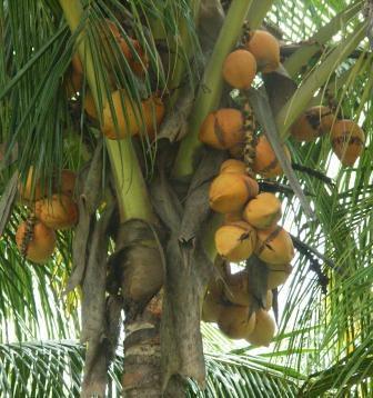Cactus Island Nursery golden spicata dwarf coconut palm