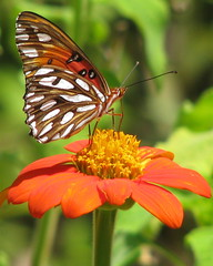 Gulf Fritillary on orange