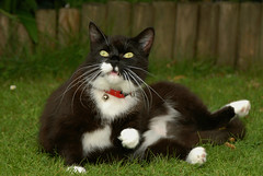 Tuzz sees a bird (vanstaffs) Tags: cat tussi kissablekat bestofcats kittyschoice tuxedogirl tuzz®