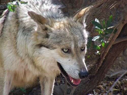 "Gray Wolf:  ""Little Red who?"""