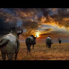 """Wildebeest"" by h.koppdelaney on Flickr"