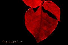Heart of leaf
