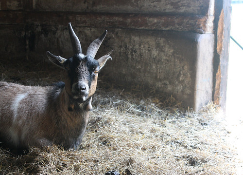 Brown Bagot goat indoors