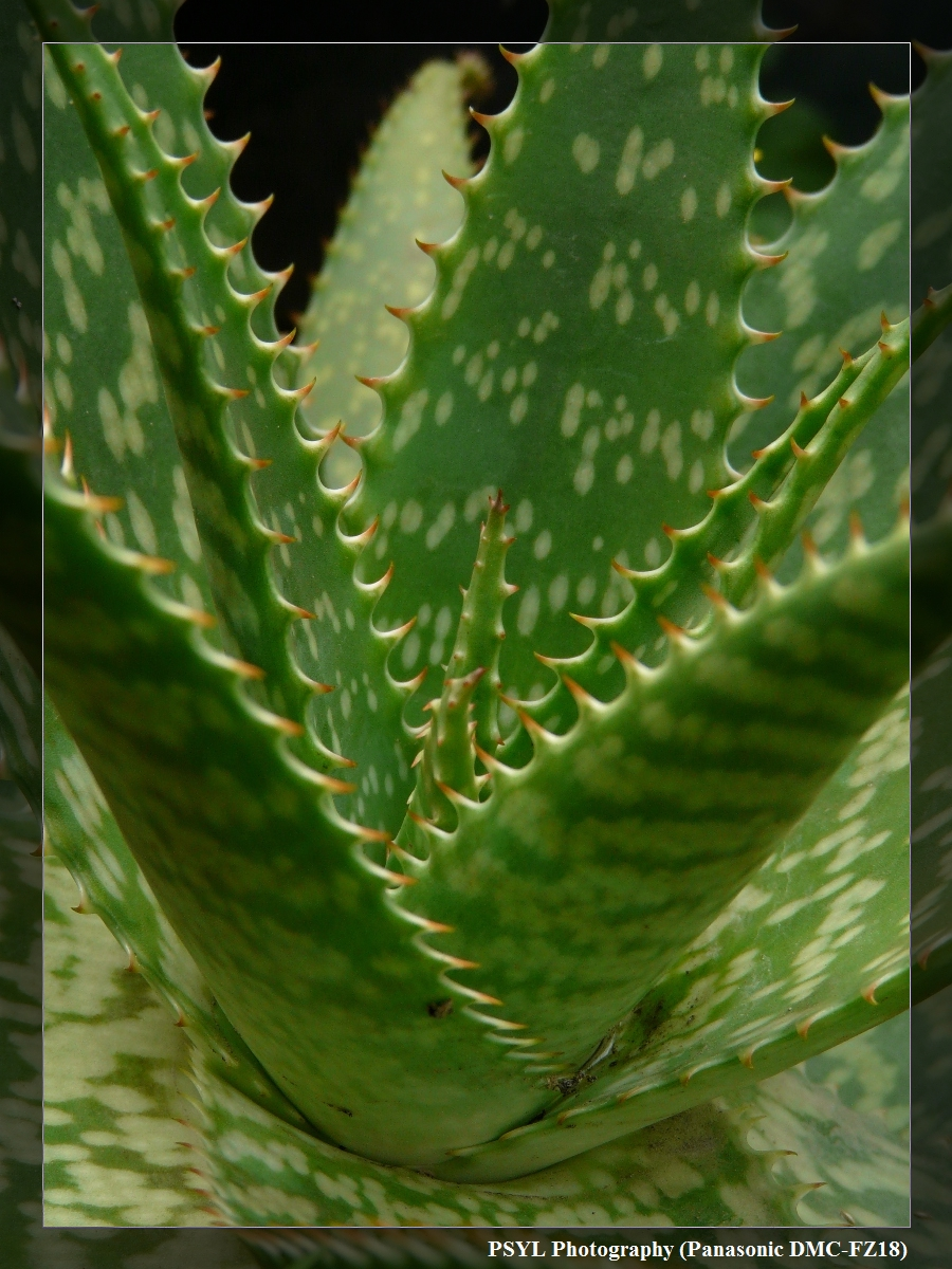 Spiky Aloe