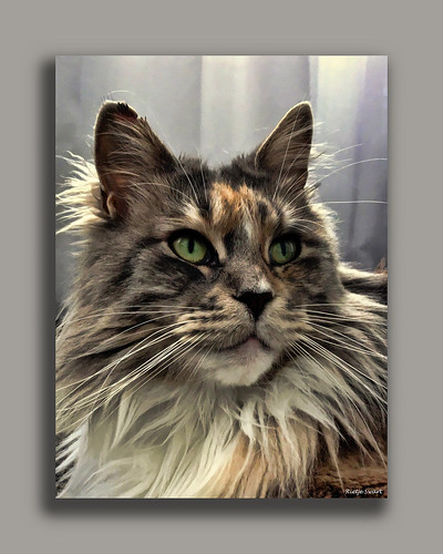 ***LIZZIE*** the Maine Coon cat