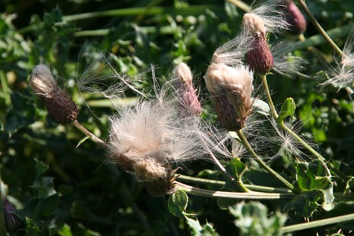 Thistle Seeds Blowing in the Breeze