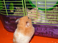 HAMSTERS 004 (CRAZYRAGE) Tags: hamsters