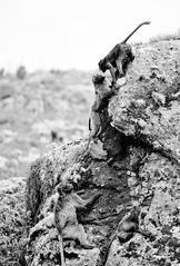 20090901-IMG_1449 (Robin100) Tags: africa animal mammal baboon ethiopia primate baboons gelada geladababoon guassa guassaplateau