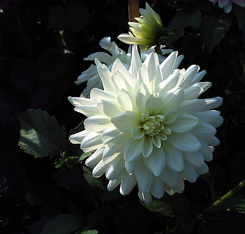 Dahlia. Photo: Ulla Hennig