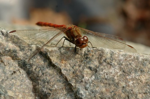 Sympetrum striolatum | Bruinrode heidelibel - Common darter