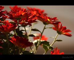 A primavera chegou ... (Dircinha -) Tags: flores flower primavera brasil canon florianopolis vermelha chegou a dircinha saariysqualitypictures