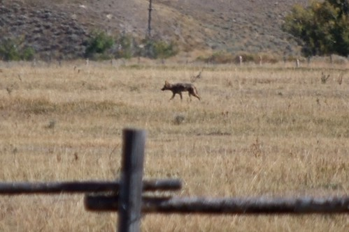 Coyote at Grand Teton National Park