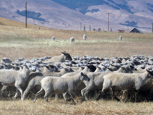 sheep farm in washington state