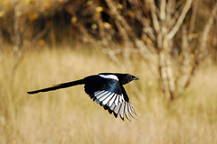 Magpie in Flight - Project 365 Day 285 (Ron Kube Photography) Tags: canada bird nature oneaday birds fauna nikon alberta photoaday magpie ornithology pictureaday blackbilledmagpie picahudsonia project365 southernalberta d80 nikond80 project365285 globalbirdtrekkers ronaldok project365093009 ronkubephotography