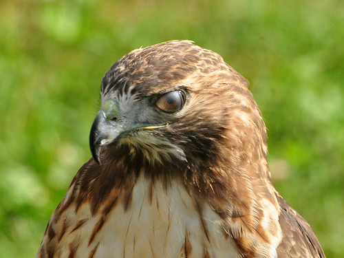 Medieval Fest Hawk