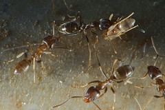 Moving Day (Pixel-Pusher) Tags: macro animals insect ant bugs larva