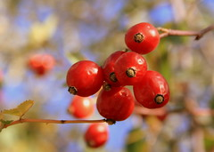 Knallrot (Karlshorsterin) Tags: autumn red rot fall nature closeup berries bokeh herbst natur harvest makro beeren nahaufnahme erntezeit anawesomeshot updatecollection