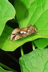 Megalographa biloba - Bilobed Looper 050 (Sabinal Sandman) Tags: nature butterfly moth biloba looper bilobed megalographa