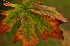 15009 (broken arrow 2009) Tags: autumn lake creek leaf maple alameda quarry ebparks