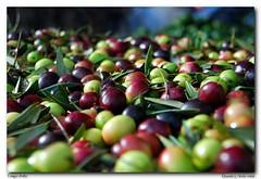 Tempo d' olio (D@niel&) Tags: italia olive palermo autunno colori distillery antico sicilia olio macine sapori danielelivolsiphoto frantioi